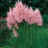 Iarbă de pampas roz