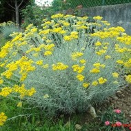 Imortela-Helichrysum arenarium-Siminoc