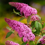 Liliac de vara-Buddleja Davidii Pink Delight