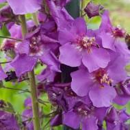 Lumanarica-Verbascum Phoeniceum Violetta