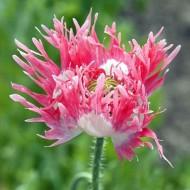 Mac Laciniatum Pink Fizz