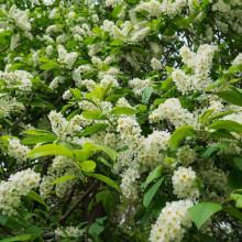 Malin-Prunus Padus