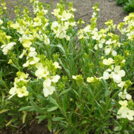 Micsuneaua ruginie-Cheiranthus cheiri Ivory White