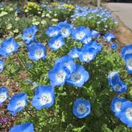 Nemophila menziesii Baby Blue Eyes