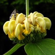 Phlomis russeliana-Ierusalim Salvie