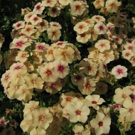 Phlox Drummondii Cherry Caramel