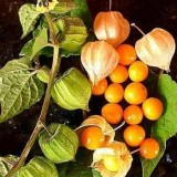 Physalis peruviana-Golden Berry