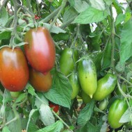 Tomate Black Icicle