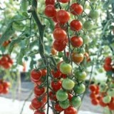Tomate cherry Supersweet 100 F1