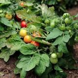 Tomate cherry VILMA