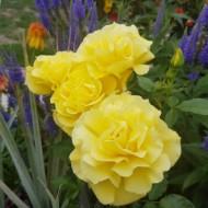 Trandafir Friesia