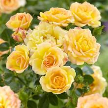 Trandafir Pitic Yellow Fairy