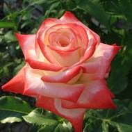 Trandafir Printesa Farah