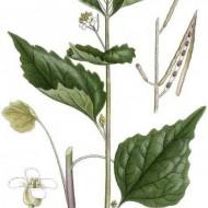 Usturoita-Alliaria Petiolata
