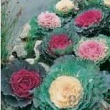 Varza ornamentala