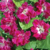 Zorele-Ipomoea Double pink