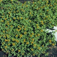 Carciumareasa Taratoare-Sanvitalia Procumbens