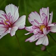 Cosmos bipinnatus Fizzy Rose Picotee