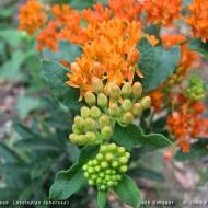 Iarba fluturilor-Asclepias tuberosa