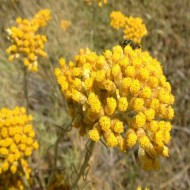 Imortela-Helichrysum italicum compact