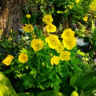 Mac Meconopsis Cambrica Yellow