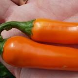 Ardei iute Bulgarian Carrot