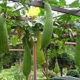 Castravete Luffa cylindrica