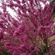 Cercis siliquastrum-Arborele Iudei