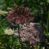 Daucus carota Purple Kisses