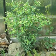 Euphorbia Lathyris-Planta Anticartita