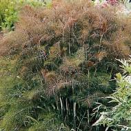 Fenicul Purpureum-Bronze fennel