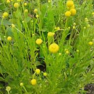 Floare Ananas-Cephalophora aromatica