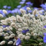 Iarba decorativa Lagurus ovatus