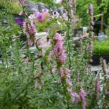 Isop roz-Hyssopus officinalis