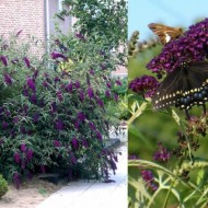 Liliac de vara-Buddleja Davidii Black Knight