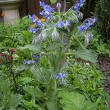 Limba mielului-Borago officinalis albastra