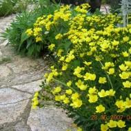Linum flavum Compactum-In decorativ galben