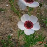 Linum grandiflorum Bright Eyes-In decorativ alb