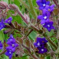 Miruta-Anchusa officinalis