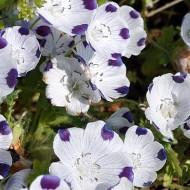 Nemophila maculata Five Spot