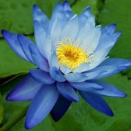 Nufarul Blue-Nymphaea Caerulea