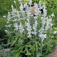 Salvia Farinacea Victoria White