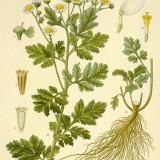 Spilcuta-Tanacetum parthenium