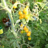Tomate cherry Yellow Pearshaped