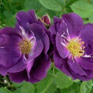 Trandafir Rapsody in Blue