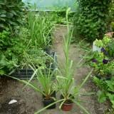 Tuberoze-Polianthes tuberosa