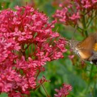 Valeriana rosie-Centranthus ruber