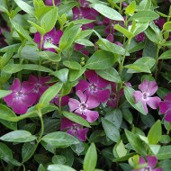 Vinca Minor atropurpurea-Saschiul