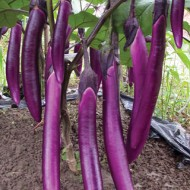 Vinete Long Purple