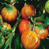 Vinete Turkish orange